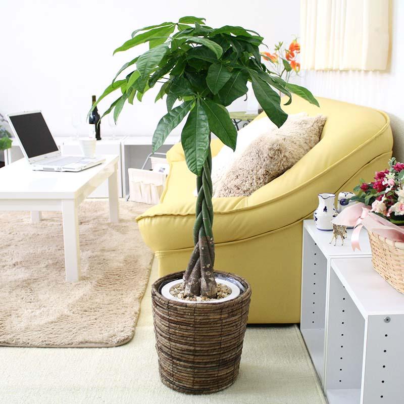 【送料無料】パキラ 7号鉢+ブラウンバスケット鉢カバー|中型サイズの観葉植物