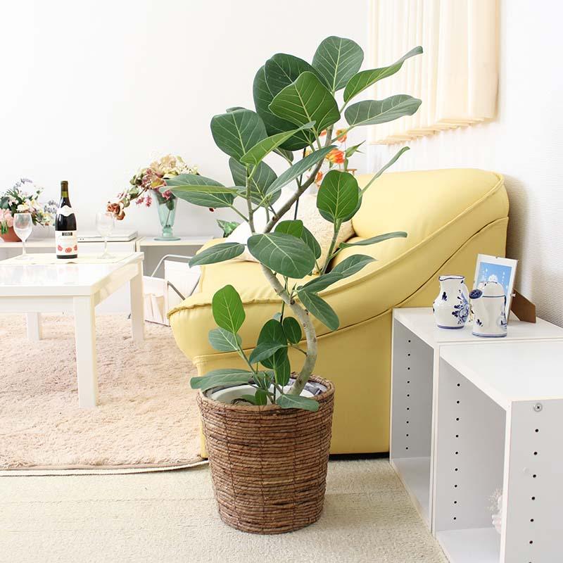 フィカス ベンガレンシス 曲がり 7号 選べるバスケット鉢カバー|中型サイズの観葉植物