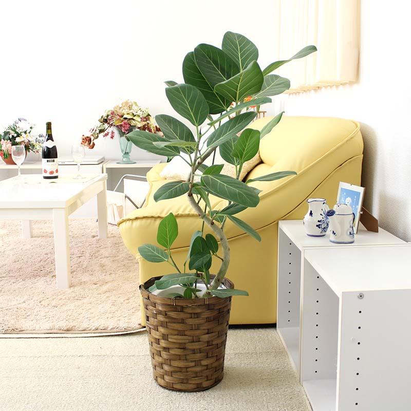フィカス ベンガレンシス 曲がり 7号 バスケット鉢カバー|中型サイズの観葉植物