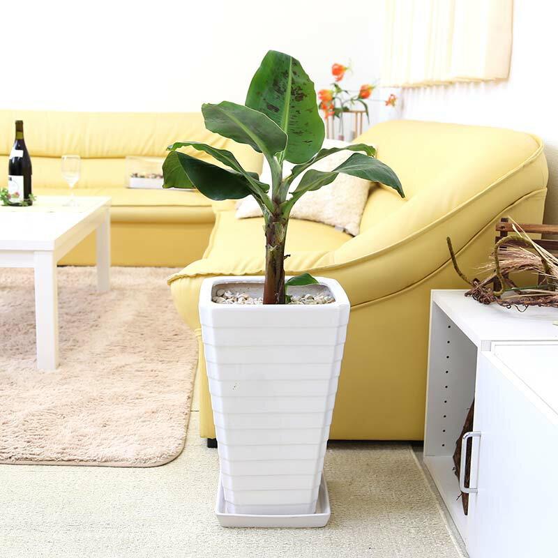 【送料無料】バナナの木 8号 ホワイトスクエア陶器鉢 Gタイプ