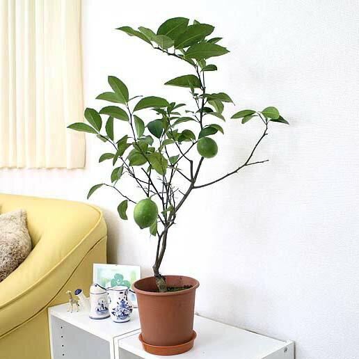 レモンの木の苗 (プラスチック鉢 6号) 鉢植え