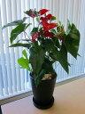 アンスリウム(アンスリューム)赤 10号鉢(尺鉢)四季咲きで花持ちが良く涼しげでギフトとして大変喜ばれている人気商品です。大変大きく高さもありお部屋のインテリア...