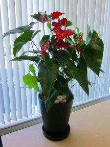 アンスリウム(アンスリューム)赤 10号鉢(尺鉢)四季咲きで花持ちが良く涼しげでギフトとして大変喜ばれている人気商品です。大変大きく高さもありお部屋のインテリアとして置いて頂