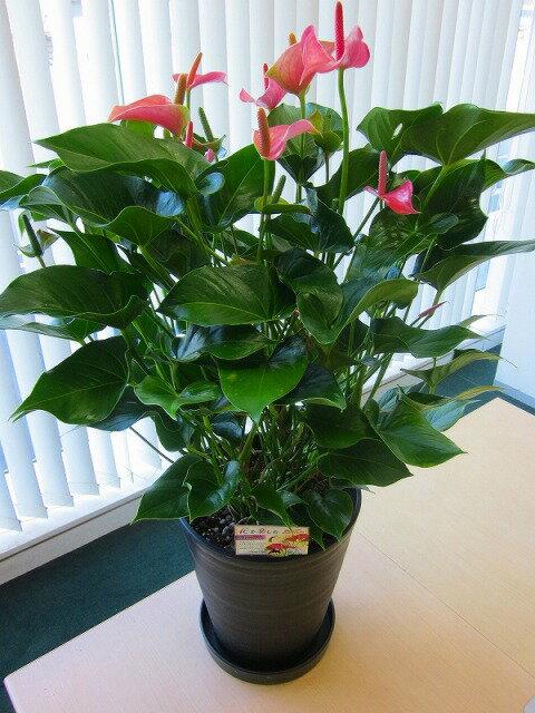 アンスリウム(アンスリューム)ピンク 10号鉢(尺鉢)四季咲きで花持ちが良く涼しげでギフトとして大変喜ばれている人気商品です。大変大きく高さもありお部屋のインテリアとして置いて頂くと一段と華やかになります。開店祝い、新築祝いなどにもおすすめです。【smtb-s】