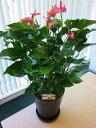 アンスリウム(アンスリューム)ピンク 10号鉢(尺鉢)四季咲きで花持ちが良く涼しげでギフトとして大変喜ばれている人気商品です。大…