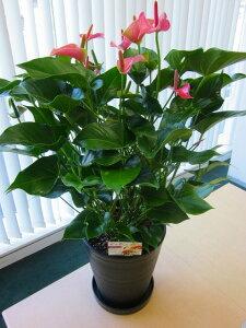 アンスリウム(アンスリューム)ピンク 10号鉢(尺鉢)四季咲きで花持ちが良く涼しげでギフトとして大変喜ばれている人気商品です。大変大きく高さもありお部屋のインテリアとして置い