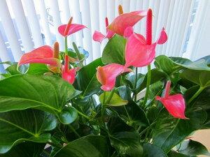 アンスリウム(アンスリューム)ピンク10号鉢(尺鉢)四季咲きで花持ちが良く涼しげでギフトとして大変喜ばれている人気商品です。大変大きく高さもありお部屋のインテリアとして置いて頂くと一段と華やかになります。開店祝い、新築祝いなどにもおすすめです。【smtb-s】