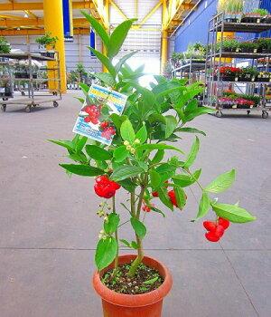 ウォーターアップル(ミズレンブ)7号鉢真っ赤なトロピカルな果実の実付きです。樹形が美しいため観葉植物としても最適です。不思議な味の果実は、さくっとした軽い歯ごたえでみずみずしさ、酸味と甘味を感じる美味しさがあります。