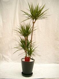 ドラセナ・マジナータ 10号(1尺鉢) 花言葉「真実さ」から別名「真実の木」と呼ばれ人気の観葉植物 ギフトやインテリアにオススメです。【smtb-s】
