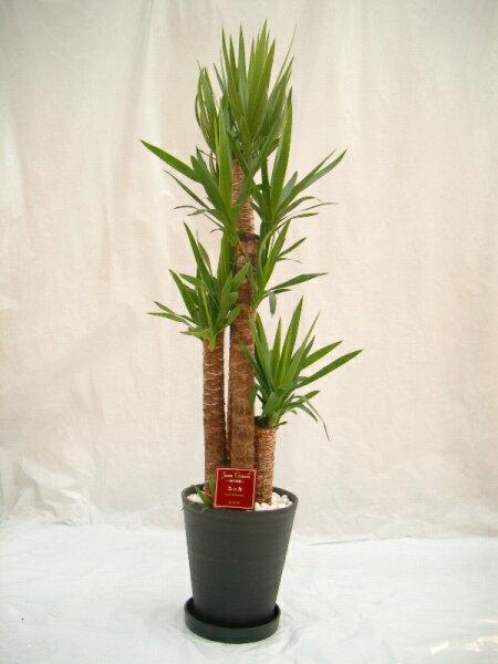 ユッカ・エレファンティペス 10号(1尺鉢) 青年の木と呼ばれるワイルドで力強い雰囲気が魅力の観葉植物 初めての方にもオススメのインテリアグリーンです。【smtb-s】