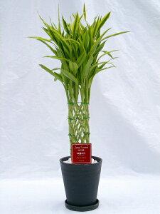 ラッキーバンブー 2鉢セット (ブラック・ホワイトの7号(7寸鉢)2色セット) 「ミリオンバンブー」などと呼ばれる縁起のいい観葉植物【smtb-s】