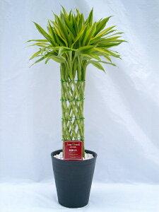ラッキーバンブー 8号(8寸鉢) 「ミリオンバンブー」などと呼ばれる縁起のいい観葉植物 ギフトにオススメのインテリアグリーンです。【smtb-s】
