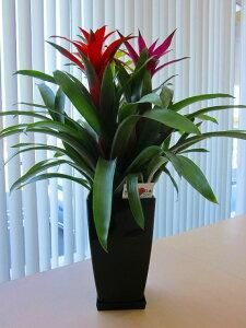 グズマニア 3色植え 白鉢と黒鉢の2鉢セット トロピカルな空間を演出してくれるパイナップル科の植物です。高級観葉植物ですので、ギフトとして大変喜ばれている人気商品です。開店