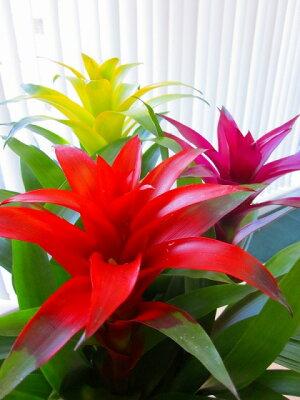 グズマニア3色植え白鉢と黒鉢の2鉢セット(陶器鉢)トロピカルな空間を演出してくれるパイナップル科の植物です。高級観葉植物ですので、ギフトとして大変喜ばれている人気商品です。開店祝い、新築祝い、お歳暮などのギフトに最適です。【smtb-s】