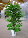 マングーカズラ 10号鉢(尺鉢)(鉢カバー・受け皿付き) 葉のボリュームもあり、エントランスなどでの豪華なウエルカムグリーンに最…