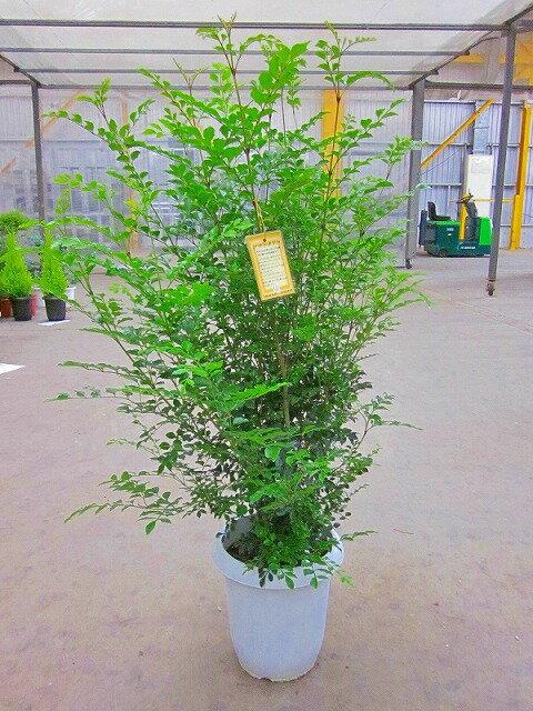 シマトネリコ 8号鉢(鉢カバー・受け皿付き)とても涼しげでサラサラと風に揺れる姿が癒される人気の観葉植物です。8号サイズですので複数本の株立ちで葉のボリュームがあります。【smtb-s】【05P01Mar15】