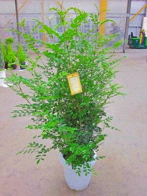 シマトネリコ(8号鉢)【レビューを書いて1,000円割引】涼しげでサラサラと風に揺れる姿が癒される人気の観葉植物です。複数本の株立ちで葉のボリュームがあります。インテリアやガーデニングに人気です。産地より生育状態の最良の状態で直送致します!