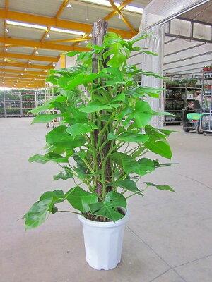 モンステラ観葉植物10号(尺鉢・大鉢)ハート型の大きな葉がモダンでスタイリッシュで大変人気の観葉植物です。大きい10号鉢サイズで高さも約150cmありますので、お部屋のインテリアや玄関・エントランスなどのウェルカムグリーンに最適です。【smtb-s】