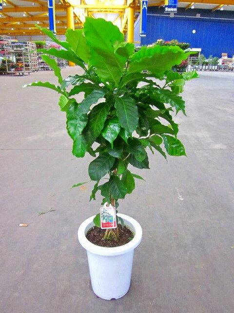 コーヒーの木 7号鉢(7寸鉢) 深い緑色のツヤツヤした葉っぱが特徴の美しい観葉植物です。きれいな緑がインテリアにもよく映え大変人気のありますので、プレゼントや贈り物にも最適です。