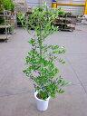 オリーブの木 8号鉢(8寸鉢)平和のシンボルとして人気のある観葉植物です。小さくて可愛い葉がインテリアグリーンとして最適です。観…