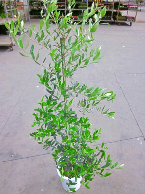 オリーブの木8号鉢平和のシンボルとして大変人気のある観葉植物です。小さくて可愛い葉っぱが涼しげで、インテリアグリーンとして最適です。また、贈り物にとても喜ばれます。オリーブの木観葉植物植木庭木インテリアグリーンギフトプレゼントシンボルツリー【smtb-s】