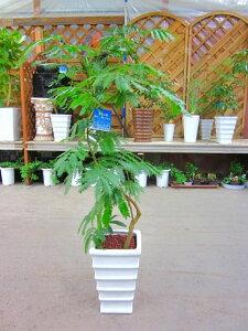 エバーフレッシュ ねむの木 8号陶器鉢植え 昼は起きて...