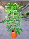 ツピダンサス・カリプトラタス(チュピタンサス)(尺鉢・大鉢)10号 観葉植物 耐陰性が強く室内のどこに置いてもあまり姿が乱れず、お…