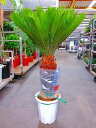 ソテツ(蘇鉄)10号鉢(大鉢・ロング) リゾート庭木に大変人気の植物で夏はリゾート感があり、冬は青々して存在感があります。耐寒性…