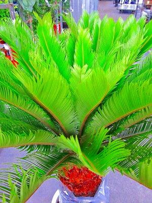 ソテツ(蘇鉄)10号鉢(大鉢・ロング)リゾート庭木に大変人気の植物で夏はリゾート感があり、冬は青々して存在感があります。太い幹から濃緑色の光沢のある羽状葉を出して重厚な雰囲気があります。お手入れは。耐寒性がありますので意外とカンタンです。【smtb-s】