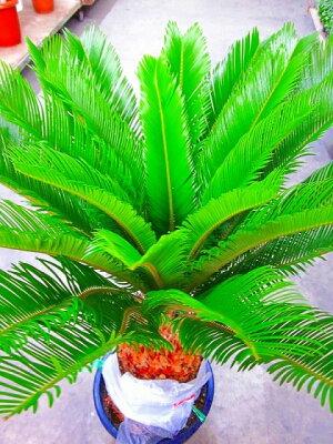 ソテツ(蘇鉄)10号鉢(大鉢・ミドル)リゾート庭木に大変人気の植物で夏はリゾート感があり、冬は青々して存在感があります。太い幹から濃緑色の光沢のある羽状葉を出して重厚な雰囲気があります。お手入れは、耐寒性がありますので意外とカンタンです。【smtb-s】