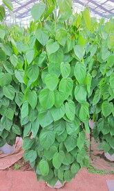 フィロデンドロン・オキシカルジウム(タワー仕立て・10号鉢)(鉢カバー・皿付き)和名でヒメカズラと呼ばれるハート型の葉が特徴のつる性観葉植物です。大変強く初心者でも育てやすいのでオススメです!【smtb-s】