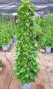 ポトス 観葉植物 10号鉢 送料無料(鉢カバー・皿付き) インテリアグリーンとして空気清浄効果もありインテリアに最適です。オウゴンカ…