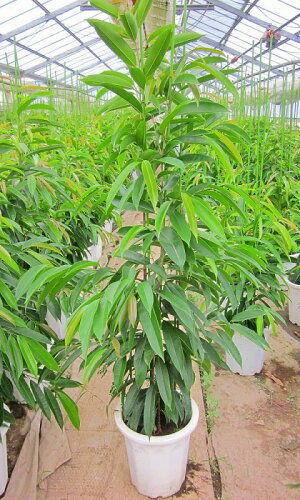 ゴムの木(ショウナンゴムの木)(10号鉢)細葉タイプのゴムの木です。樹形が美しくインテリア雑誌にも登場する話題の観葉植物です。【smtb-s】