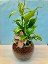 ハイドロカルチャー観葉植物(ハイドロボール)バブ18 大人気のハイドロカルチャー観葉植物です。ハイドロボールは無菌・無臭でとても…