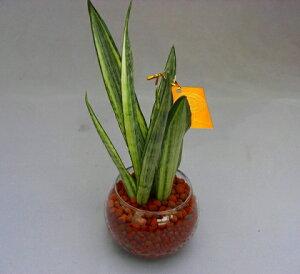 ハイドロカルチャー観葉植物(ハイドロボール)2鉢セット バブ10 無菌・無臭でとても清潔、水分を含ませるとマイナスイオンが発生します。お部屋のインテリアや母の日・ギフトなどにオ