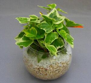 ハイドロカルチャー観葉植物(サンゴ砂)バブ10 見た目が大変キレイで清涼感のあるデザインです。サンゴ砂は、雑菌等の抑制、水の濾過効果があり水質が清潔な状態で保たれます。お部