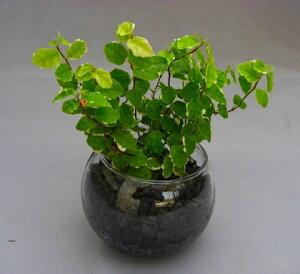 ハイドロカルチャー観葉植物 炭 2鉢セット バブ10 素敵なデザインでインテリアにオススメです。インテリア 贈り物 ギフト 水耕栽培 鉢 母の日 お誕生日 記念日 開店祝い