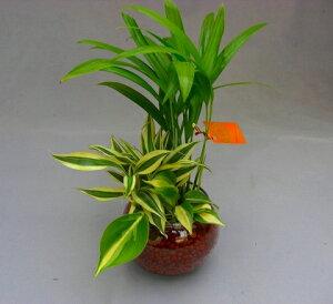 ハイドロカルチャー 寄せ植え ハイドロボール 2鉢セット バブ12 無菌・無臭でとても清潔です。水分を含ませるとマイナスイオンが発生します。インテリア 贈り物 ギフト 水耕栽培 鉢 母の日