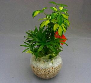 ハイドロカルチャー寄せ植え(サンゴ砂)2鉢セット バブ12 見た目が大変キレイで清涼感のあるデザインです。サンゴ砂は、雑菌等の抑制、水の濾過効果があり水質が清潔な状態で保たれ