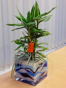 ハイドロカルチャー寄せ植え(カラーサンド) スクエア15 手作りのため世界にひとつだけの模様です。お部屋のインテリアや贈り物に最適です。【05P01Mar15】