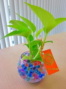 ハイドロカルチャー観葉植物 バブ10 ゼリー 2個セット 人気の水耕栽培です。インテリア 贈り物 ギフト 水耕栽培 鉢 母の日 お誕生日 記念日 開店祝い