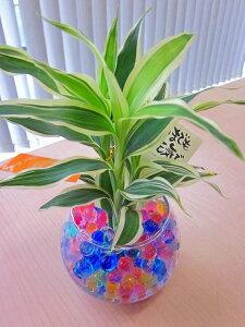 ハイドロカルチャー観葉植物 バブ12(ゼリー) 2個セット 人気の水耕栽培です。カラフルでかわいいゼリーボールがきれいなグリーンを引き立てます。お部屋のインテリアにどうぞ♪