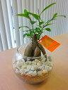ハイドロカルチャー観葉植物 ガジュマル バブ10(マゼペット)石のせ 人気の水耕栽培です。ペットボトルが原料のカラフルなカラーサン…