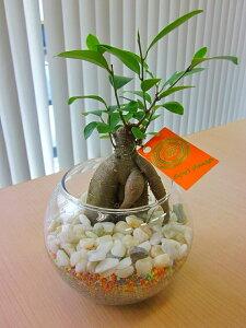 ハイドロカルチャー観葉植物 ガジュマル バブ12(マゼペット)石のせ 2個セット 人気の水耕栽培です。カラフルでカラーサンドとオシャレな石がきれいなグリーンを引き立てます。お部