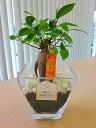 ハイドロカルチャー 観葉植物 ガジュマル スクエアガラスベース(炭)石のせ 人気の水耕栽培です。インテリア 贈り物 …