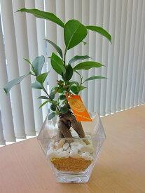 ハイドロカルチャー 観葉植物 ガジュマル スクエアガラスベース マゼペット 石のせ 2個セット 素敵なデザインでインテリアにオススメです。インテリア 贈り物 ギフト 水耕栽培 鉢 母の日 お誕生日 記念日 開店祝い