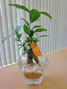 ハイドロカルチャー 観葉植物 ガジュマル スクエアガラスベース マゼペット 石のせ 2個セット 素敵なデザインでインテリアにオススメです。インテリア 贈り物 ギフト 水耕栽培 鉢 母の日