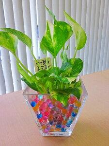 ハイドロカルチャー観葉植物 スクエアガラスベース(ゼリー) 2個セット 人気の水耕栽培です。カラフルでかわいいゼリーボールがきれいなグリーンを引き立てます。お部屋のインテリア