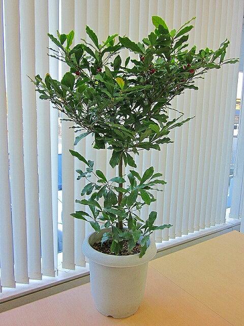 ミラクルフルーツの木(実つき)【実付き10個以上です。】実付きの珍しい鉢植え(苗木)です。不思議な果樹を自宅でお楽しみいただけます。実を舐めた後に甘く感じるレモンを体験してください!ランキング入賞【05P01Mar15】