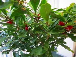 ミラクルフルーツの木(実つき)【10個以上の実付き最上級品です】実が付いている珍しい鉢植え(苗木)です。不思議な果樹をご自宅でお楽しみいただけます。実を舐めた後に、甘く感じるレモンを体験してください!【ランキング入賞】